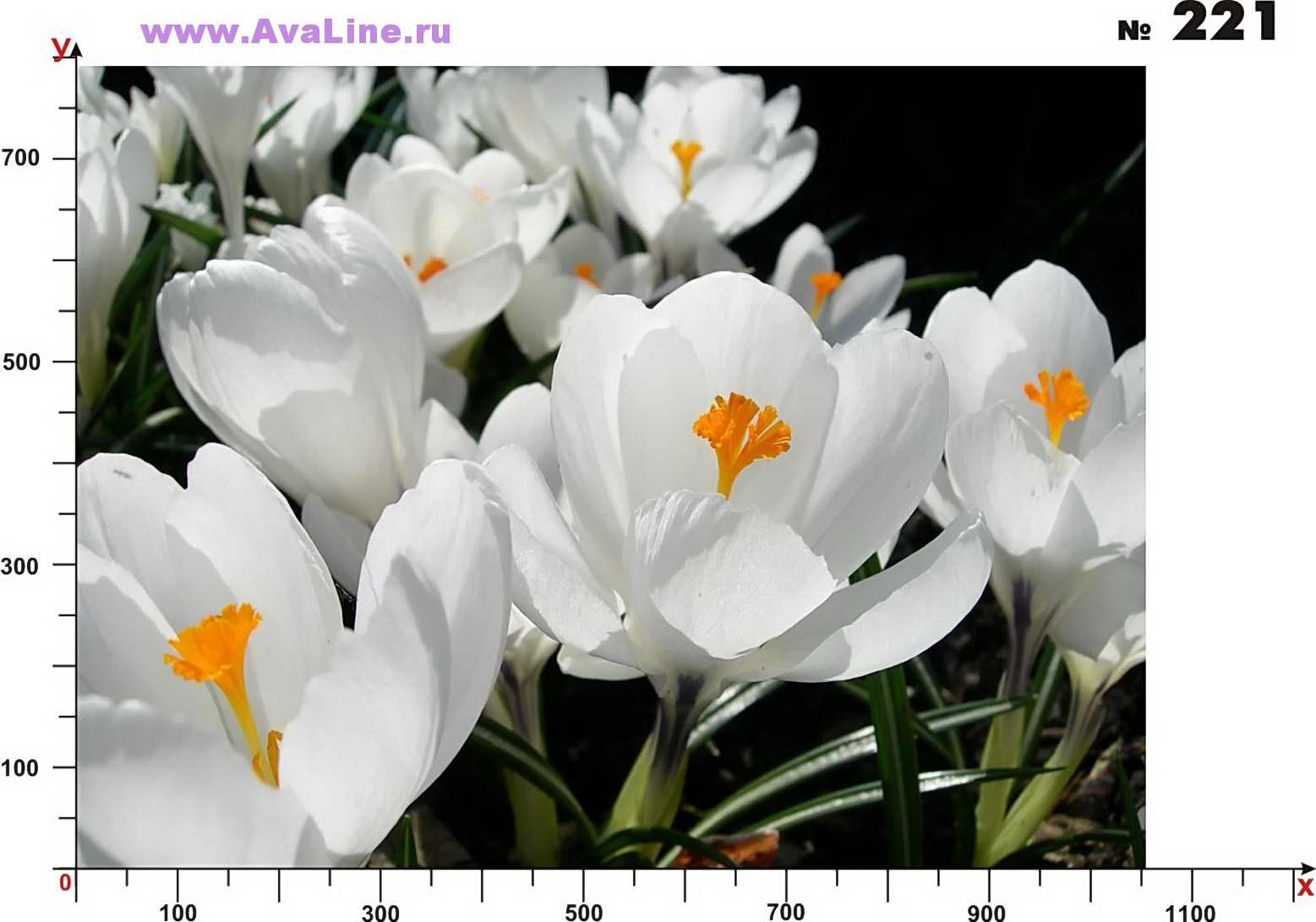 Фото пролески весенней подснежников крокусов 5
